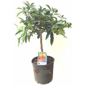 Pianta di mandarino cinese Kumquat in vaso da cm. 20 altezza
