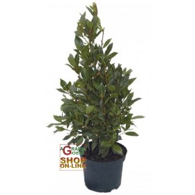 LAUREL TREE CM HIGH. 120, POT DIA. 20