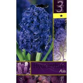The BULBS OF the FLOWER HYACINTHUS AIDA N. 3