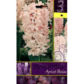 The BULBS OF the FLOWER HYACINTHUS APRICOT PASSION No. 3