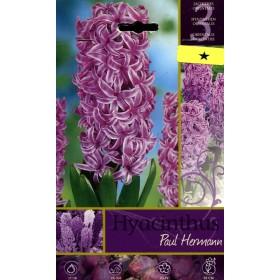The BULBS OF the FLOWER HYACINTHUS PAUL HEMANN No. 3