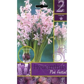 The BULBS OF the FLOWER HYACINTHUS PINK FESTIVAL No. 2