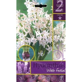 The BULBS OF the FLOWER HYACINTHUS WHITE FESTIVAL No. 2