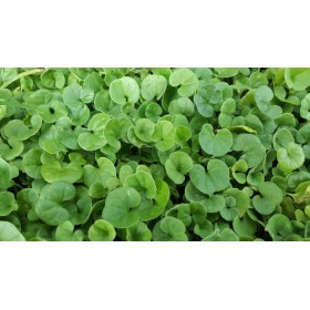 SEEDS OF DICHONDRA REPENS GRASS TURF NANO WITHOUT CUTTING GR.
