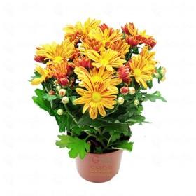 PLANT CHRYSANTHEMUM VASE 12