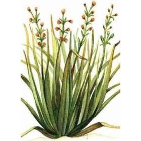 PLANT CITRONELLA VASE CM. 19