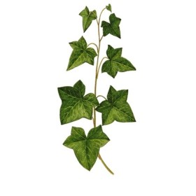 PLANT IVY IN A POT DIAM. 10