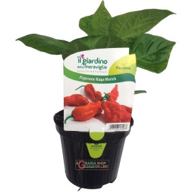 THE PLANT OF HOT PEPPER NAGA MORICH IN A JAR